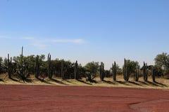 I fiori del cactus allineano nel deserto fotografia stock libera da diritti