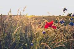 I fiori del campo lungo le strade di estate abbelliscono Immagine Stock Libera da Diritti