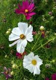 I fiori del cosmea sono sbocciato nel giardino fotografia stock