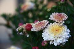 I fiori del crisantemo Fotografie Stock Libere da Diritti