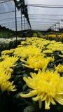 I fiori del crisantemo su si chiudono Fotografie Stock Libere da Diritti