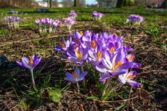 I fiori del croco con i loro colori luminosi allucinare abbelliscono l'ambiente del parco fotografia stock libera da diritti