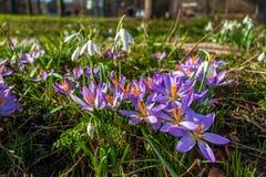 I fiori del croco con i loro colori luminosi allucinare abbelliscono l'ambiente del parco immagini stock libere da diritti