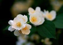 I fiori del gelsomino Fotografia Stock Libera da Diritti