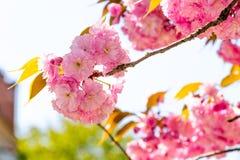 I fiori del giapponese sakura sono sbocciato Fotografia Stock Libera da Diritti