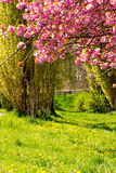 I fiori del giapponese sakura sono sbocciato Immagini Stock Libere da Diritti