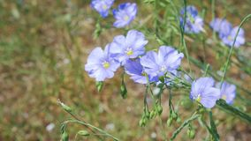 I fiori del lino ondeggiano nel vento