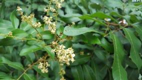 I fiori del longan di imocarpus, uno dei frutti di Sud-est asiatico con gusto dolce fotografie stock