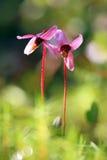 I fiori del mirtillo rosso si chiudono su Fotografie Stock