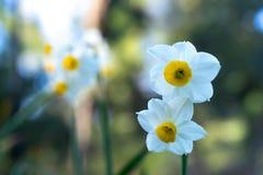 I fiori del narciso bianco su sfondo naturale verde vago Fotografie Stock Libere da Diritti