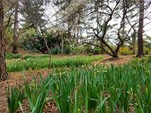 I fiori del narciso, della prugna e di ciliegia in Hallim parcheggiano su Jeju-Do Immagini Stock Libere da Diritti