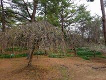 I fiori del narciso, della prugna e di ciliegia in Hallim parcheggiano su Jeju-Do Fotografia Stock Libera da Diritti
