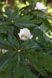 I fiori del podophyllum. Fotografie Stock Libere da Diritti