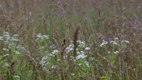 I fiori del prato e le spighe del granoturco ondeggiano nel vento un giorno di estate soleggiato video d archivio