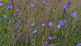 I fiori del prato e le spighe del granoturco ondeggiano nel vento un giorno di estate soleggiato stock footage