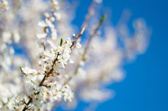 I fiori dell'albero di bianco Fotografia Stock