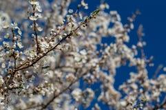 I fiori dell'albero di bianco Immagini Stock Libere da Diritti