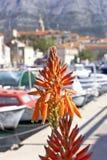 I fiori dell'aloe sta fiorendo al porto di Korcula, Croazia Immagini Stock Libere da Diritti