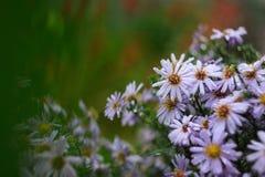 I fiori dell'aster hanno fiorito nel letto di fiore in autunno in anticipo Immagini Stock Libere da Diritti