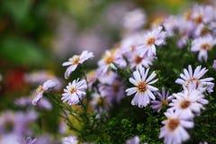 I fiori dell'aster hanno fiorito nel letto di fiore in autunno in anticipo Fotografia Stock Libera da Diritti