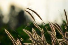 I fiori dell'erba stanno fiorendo nell'ambito delle luci del sole Fotografia Stock
