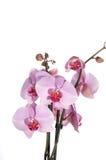 I fiori dell'orchidea si chiudono sull'isolato su Fotografie Stock