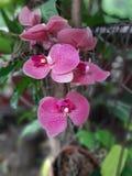 I fiori dell'orchidea si sviluppano nel giardino fotografia stock