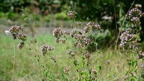 I fiori dell'origano e le farfalle bianche si chiudono su video d archivio