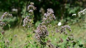 I fiori dell'origano e le farfalle bianche si chiudono su archivi video