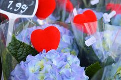 I fiori dell'ortensia hanno visualizzato in un deposito fotografie stock libere da diritti