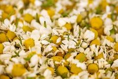 I fiori della camomilla aspettano per macro alta qualità 50,6 Megapixels del fondo del tè immagini stock libere da diritti