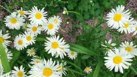 I fiori della camomilla si chiudono in su Camminando attraverso un prato sbocciante con le margherite video d archivio
