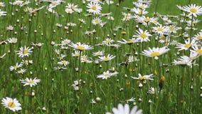 I fiori della camomilla si chiudono in su Natura di estate, giacimenti di fiore, prato del fiore selvaggio, botanica e biologia,  archivi video