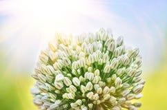 I fiori della cipolla bianca si chiudono Immagine Stock Libera da Diritti