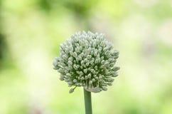 I fiori della cipolla bianca si chiudono Fotografia Stock