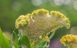 I fiori della cresta di gallo del primo piano stanno fiorendo nel giardino meravigliosamente fotografia stock libera da diritti