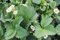 I fiori della fragola Fotografia Stock Libera da Diritti