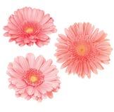 I fiori della margherita hanno isolato Immagine Stock