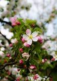 I fiori della mela immagini stock libere da diritti