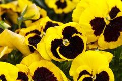 I fiori della pansé sono blommong nel giardino immagine stock libera da diritti