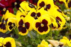 I fiori della pansé sono blommong nel giardino fotografia stock libera da diritti