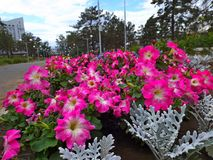 I fiori della petunia fotografie stock libere da diritti