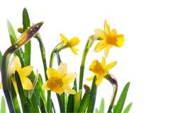 I fiori della sorgente hanno riguardato la luce solare della rugiada Fotografia Stock