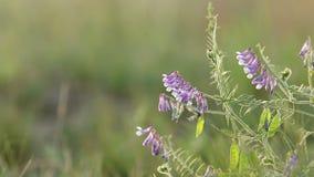 I fiori della veccia si chiudono su nel campo Il pisello selvaggio fiorisce il fiore Lampadina di tramonto, colpo del carrello, o archivi video
