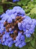I fiori della viola immagine stock libera da diritti