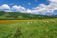 I fiori delle pecore del prato delle montagne pascono Fotografia Stock
