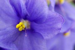 I fiori delle viole si chiudono in su fotografia stock libera da diritti