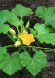I fiori dello zucchini hanno fiorito nel giardino organico Fotografie Stock
