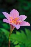 I fiori dentellano, fiori Fotografia Stock Libera da Diritti