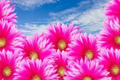 I fiori dentellare di Gerbira con cielo blu Fotografia Stock